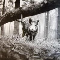 Afbeelding van het kunstwerk 'wild varken' van Wim Steffen
